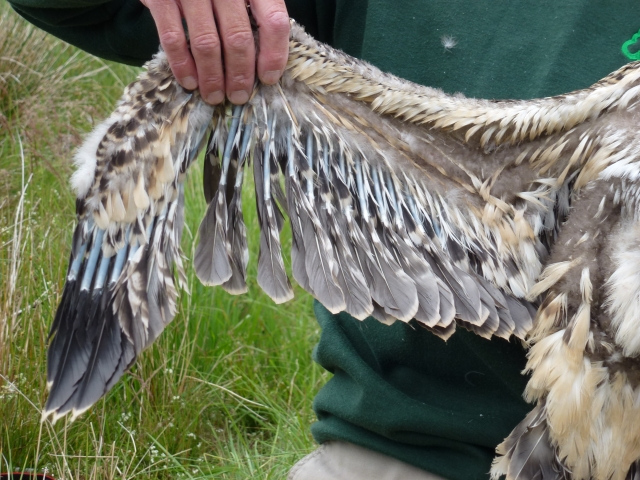Some way to go for 5H's wing feathers (c) Joanna Dailey