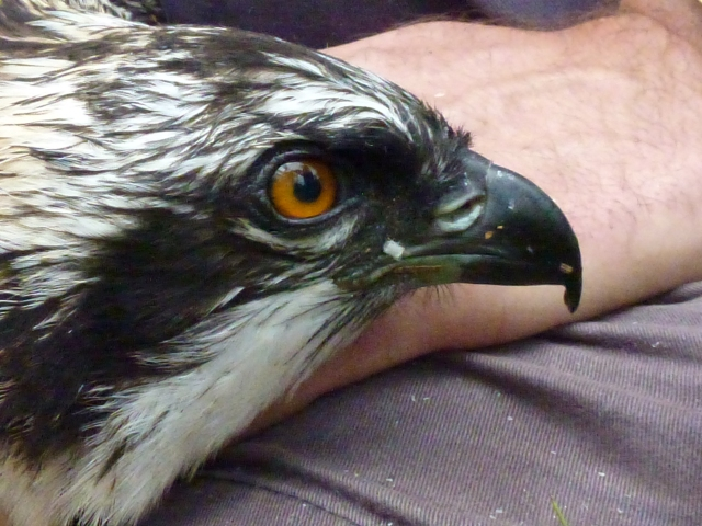 a beautiful young osprey (c) Forestry Commission