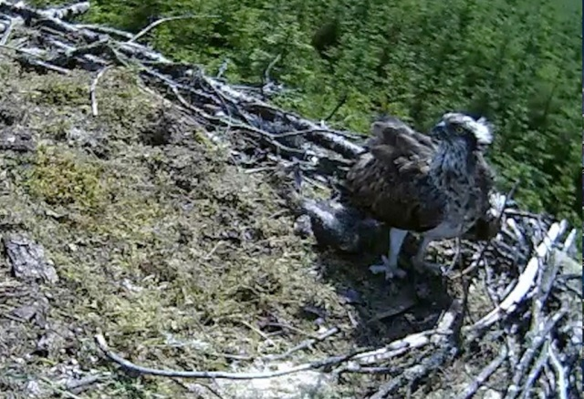 the chick seeks shelter from the baking sun (c) Forestry Commission