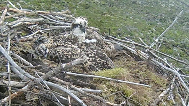 Sleepy heads on Nest 2  (c) Forestry Commission