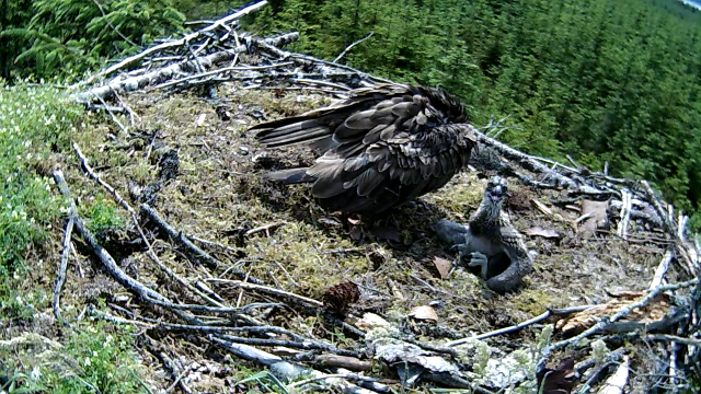 A hot chick staying near mum for shade when possible (c) Forestry Commission