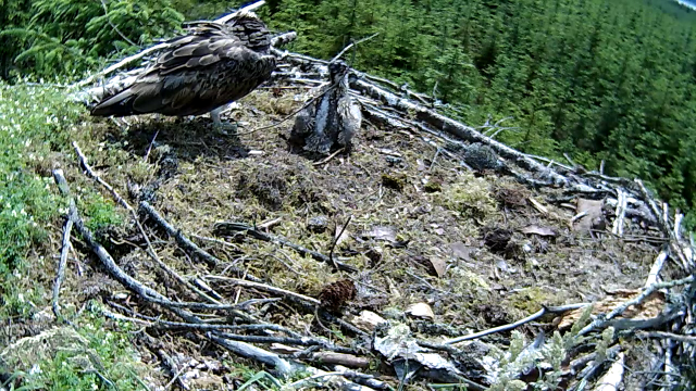 chick tries to remove stick (c0 Forestry Commission