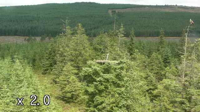Mrs YA to the right and YA just visible in a tree to the left and rear of the nest (c) Forestry Commission England