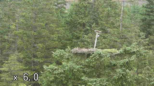 Mrs YA tries to stay balanced in the wind! (c) Forestry Commission