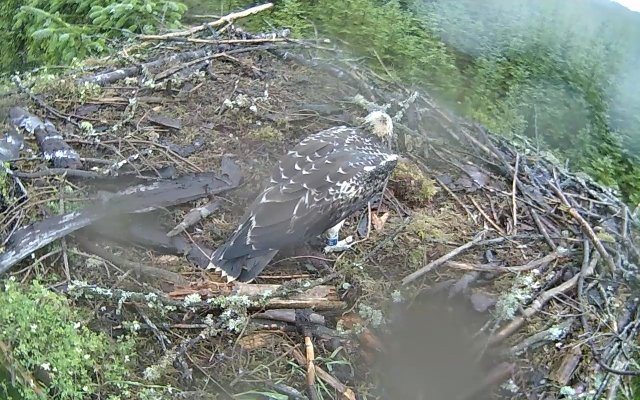 The return of a wet fledgling! (c) Forestry Commission England