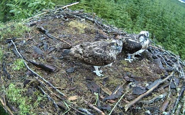 two beauiful ospreys (c) Forestry Commission