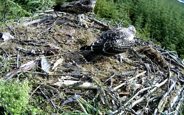 Mrs YA pays a visit to the nest (c) Forestry Commission England