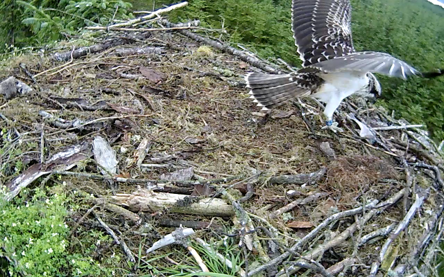 Blue 6H flew after Mrs YA but comes back with eyes on the snack still on the nest (c) Forestry Commission England