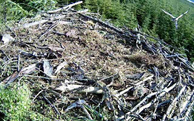 flying off with a large fish, well done! (c) Forestry Commission England