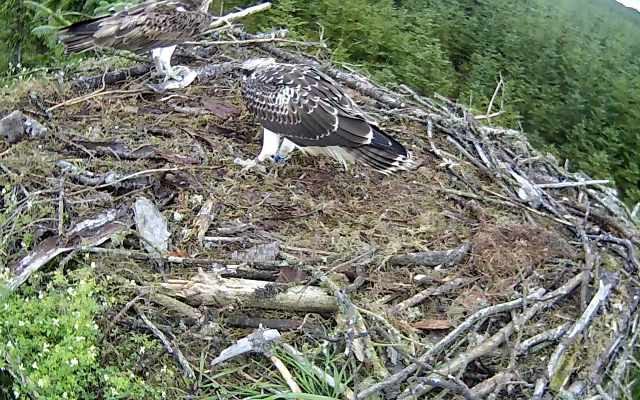 Mrs YA lands with a smallish bit of fish. And then goes off with it (c) Forestry Commission England