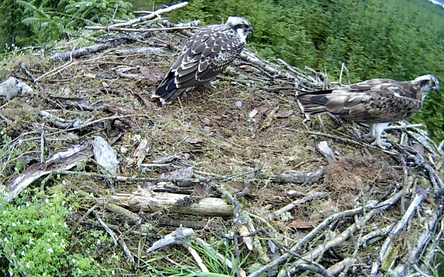 Mrs YA lands again, towards the end of the nestcam stream (c) Forestry Commission England
