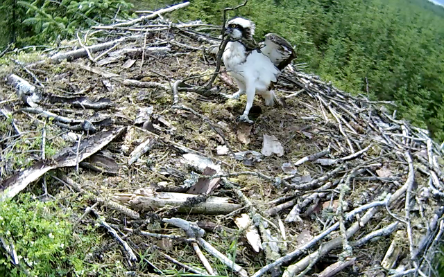 YA drags a stick around the nest (c) Forestry Commission England