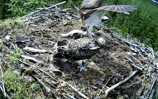 YA brings a whole fish to the nest (c) Forestry Commission England