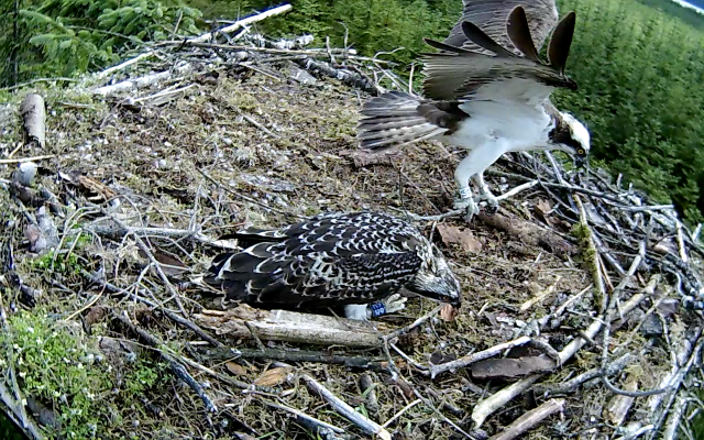YA lands with a long stick - and thumps Blue 6H on the back! (c) Forestry Commission England