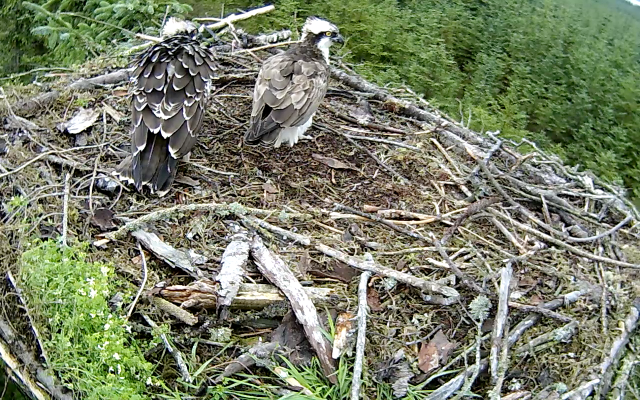 YA has moves a twig around the nest and inspects the new look (c) Forestry Commission England