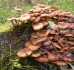 Honey Fungus (Armillaria mellea)