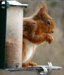 Red Squirrel at the Cafe Window (c) Joanna Dailey