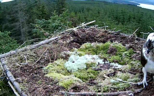 The Nest 1 female just after landing. (c) Forestry Commission England