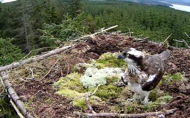 An empty crop, but still a striking looking osprey (c) Forestry Commission England