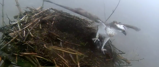Yellow 37 has just landed on Nest 2 with a fish (c) Forestry Commission England