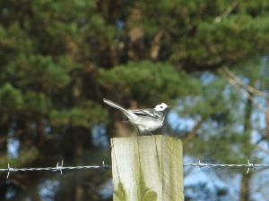 Pied wagtail bobbing on a fence post (c) Joanna Dailey