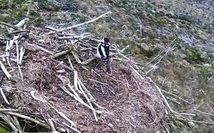 Intruder alert Nest 2! (c) Forestry Commission England