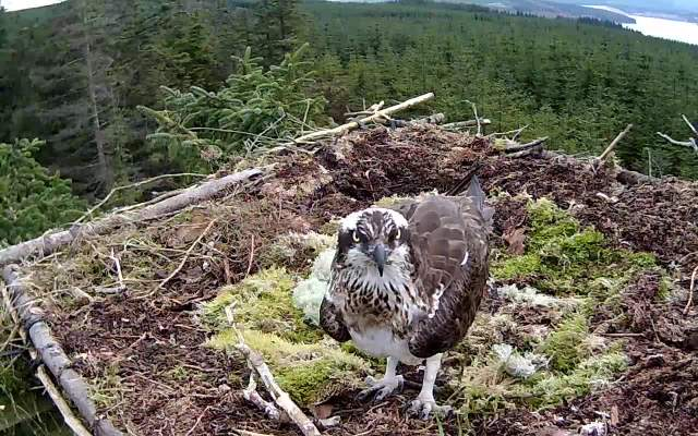 Nest 1 female just arrived (c) Forestry Commission England