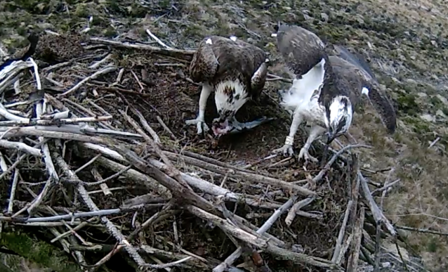 37 has dropped a fish off (c) Forestry Commission England