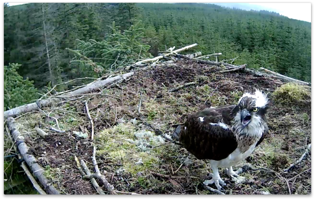 Mrs YA isn't that happy with YA sittin in a tree behind the nest eating (c) Forestry Commission England