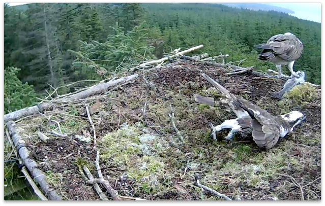 Eventually Mrs YA gets her meal and YA shows he can scoop with the best of them (c) Forestry Commission England