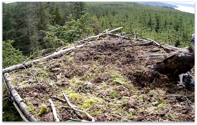 First sight of Mrs YA's head (c) Forestry Commission England