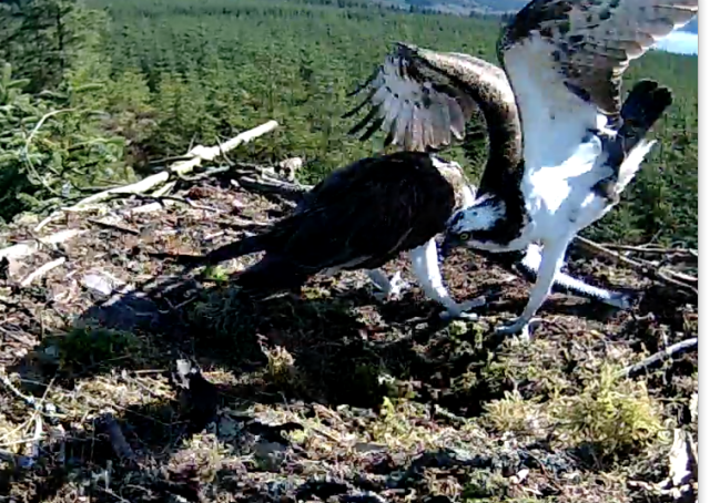 Mrs YA snatches the fish from YA - and nearly his foot too! (c) Forestry Commission England