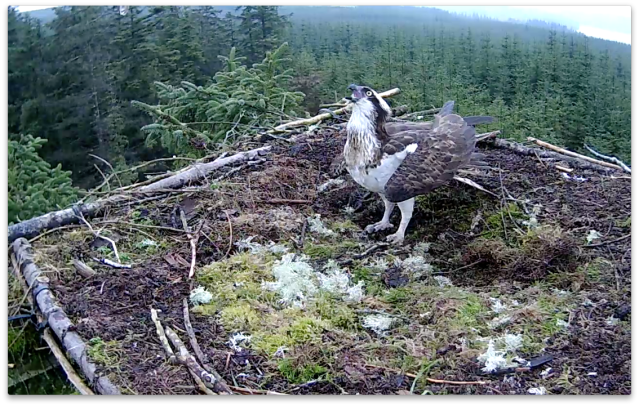 Go away! Poor Mrs YA is having a tough time on her nest in 2014 (c) Forestry Commission England