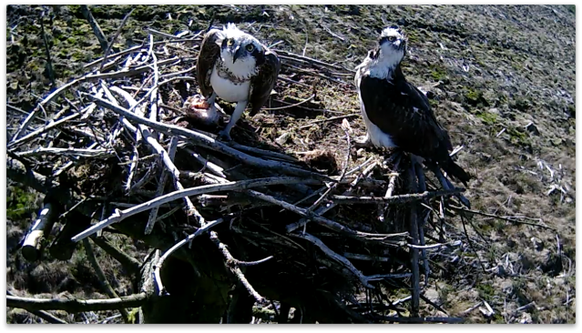 Mrs 37 returns to the nest with fish as something unsettles the pair (c) Forestry Commission England