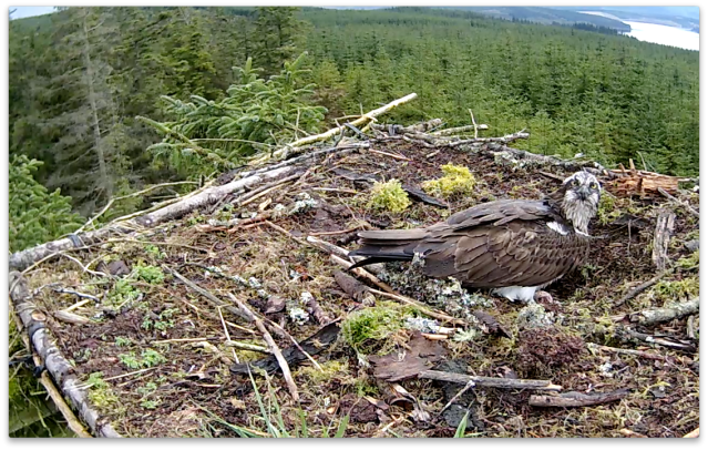 Look at MY egg (c) Forestry Commission England