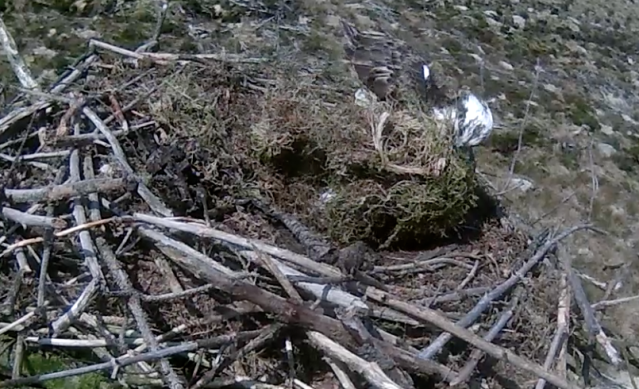 Mrs 37 hauls the moss across the nest (c) Forestry Commission England