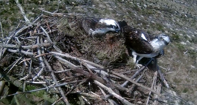 37 has landed with a piece of moss almost as big as him (c) Forestry Commission England