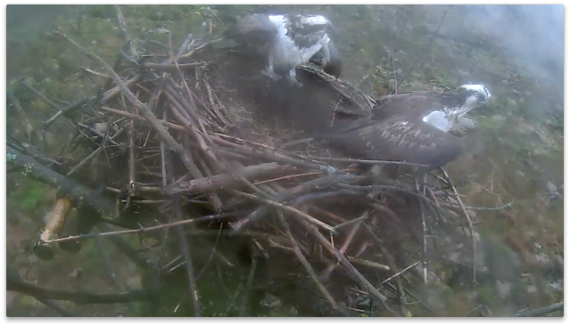 There's another osprey about! (c) Forestry Commission England