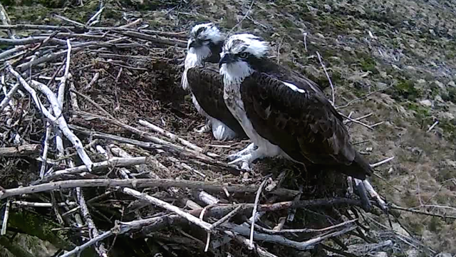 The Nest 2 pair contentedly side by side (c) Forestry Commission England