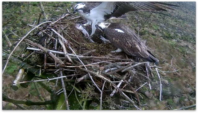 37 lands with a fish, gratefully accepted... (c) Forestry Commission England