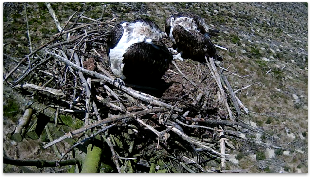 Synchronised preening on Nest 2 (c) Forestry Commission England