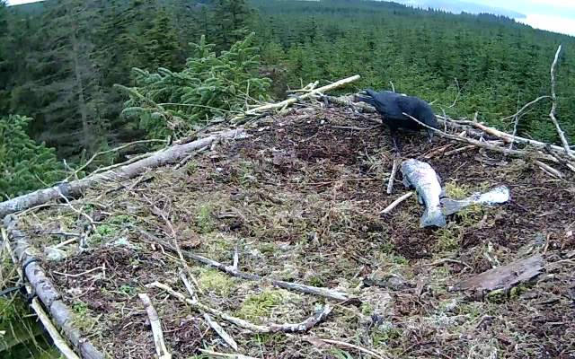 The cheeky crow is making the best of their absence (c) Forestry Commission England