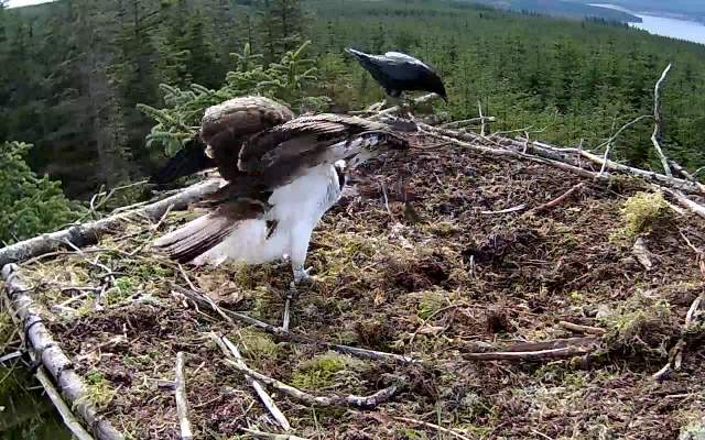 The crow has the temerity to land so YA gets set to chase it off (c) Forestry Commission England