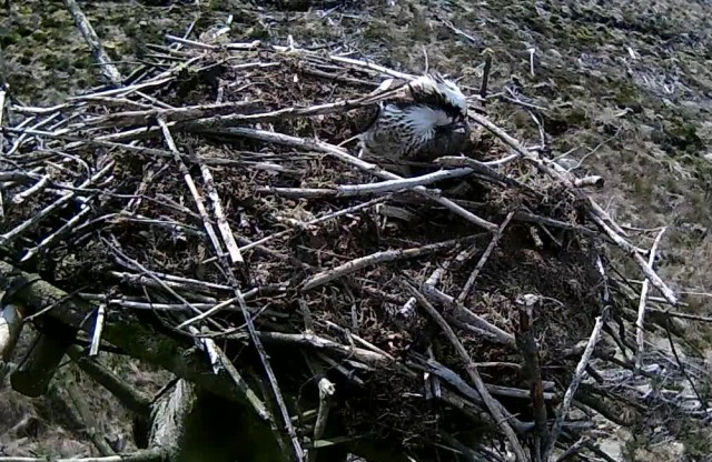 Mrs 37 barricades herself in the cup! (c) Forestry Commission England