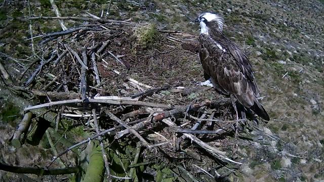 Mrs 37 dozes on the edge of her nest