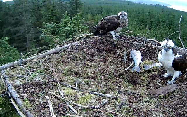 Ospreys possibly watching the crow  (c) Forestry Commission England