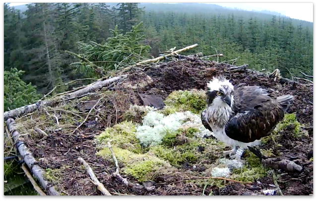 White EB on Nest 1, 31 March  (c) Forestry Commission England