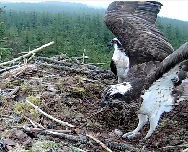 YA avoids an outstretched wing (c) Forestry Commission England