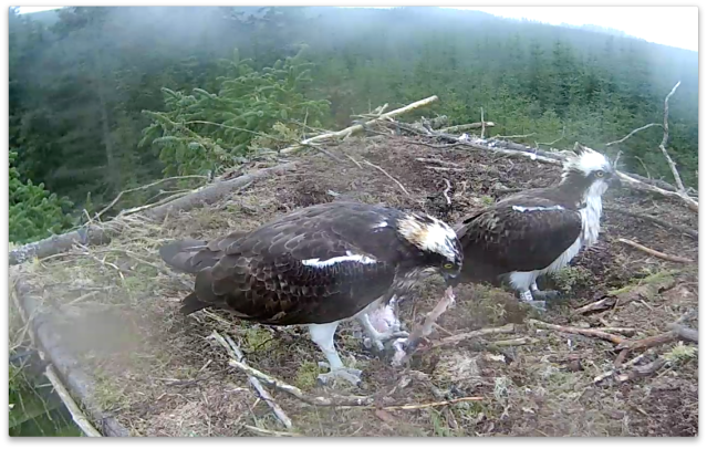 YA was on or near the nest most of the day; Mrs YA gets on with eating (c) Forestry Commission England