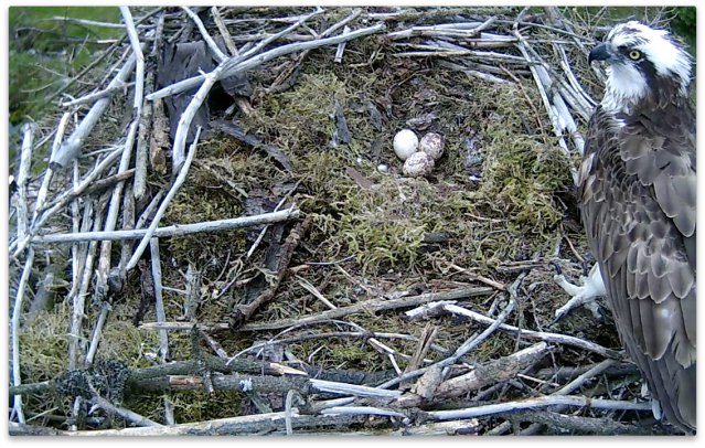 Mrs 37 steps off the eggs during her fidgety period - no cracks visible! (c) Forestry Commission England